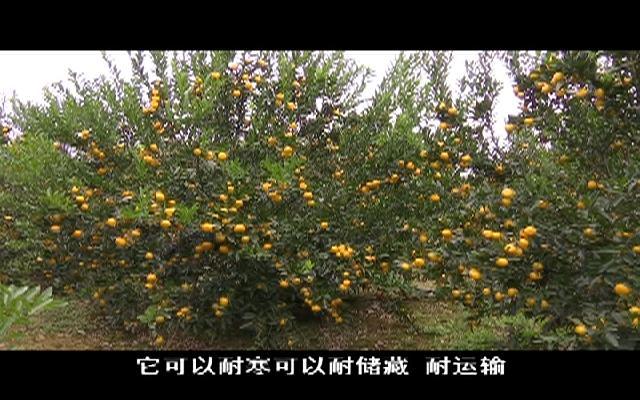 【新春走基层】马水桔热销东盟  ...