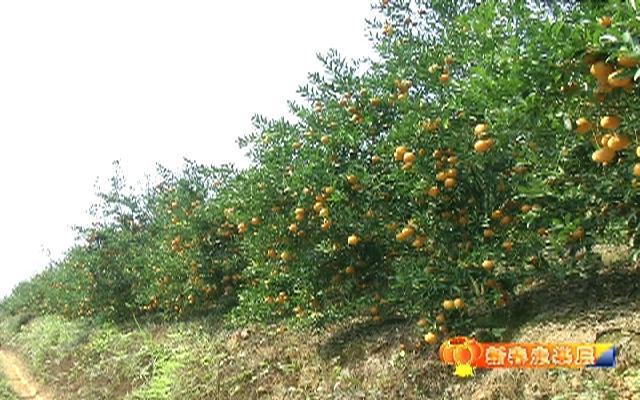 【新春走基层】龙州:果挂枝头橘满...
